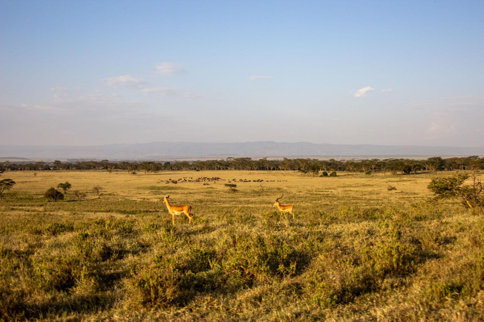 Gacelas en lago Nakuru, Kenia