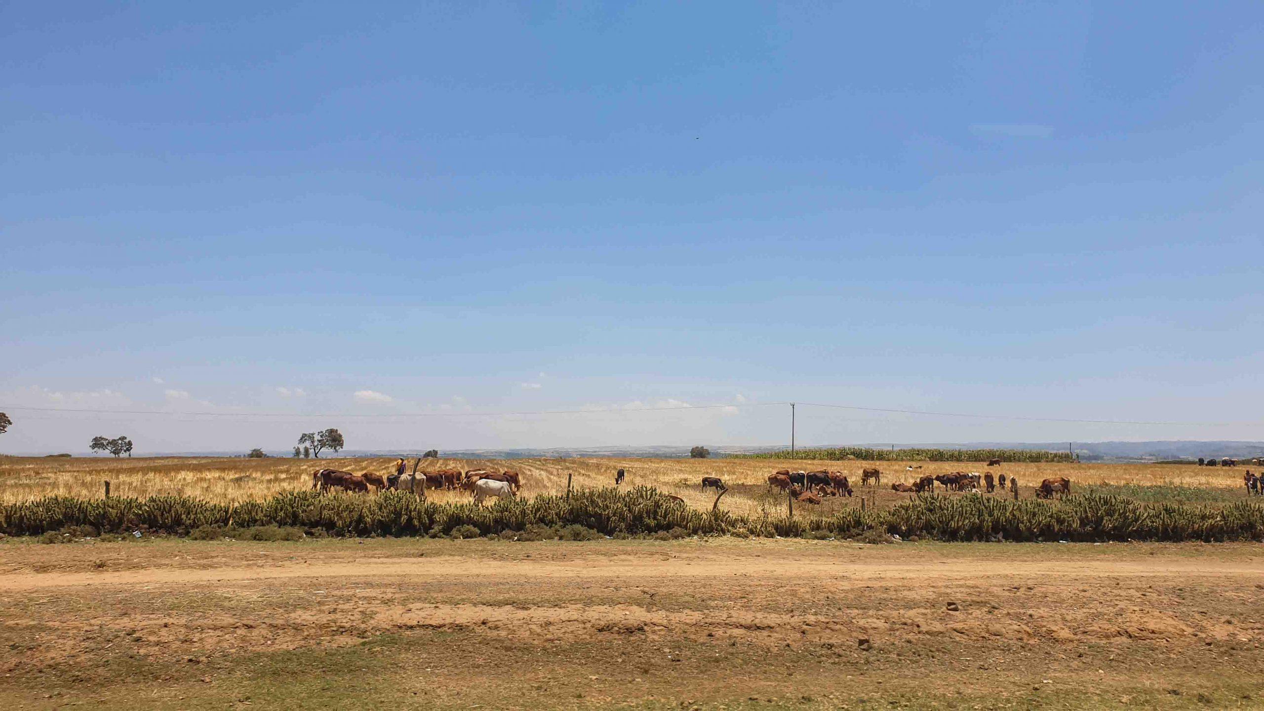Paramos en una carretera rodeados de vacas