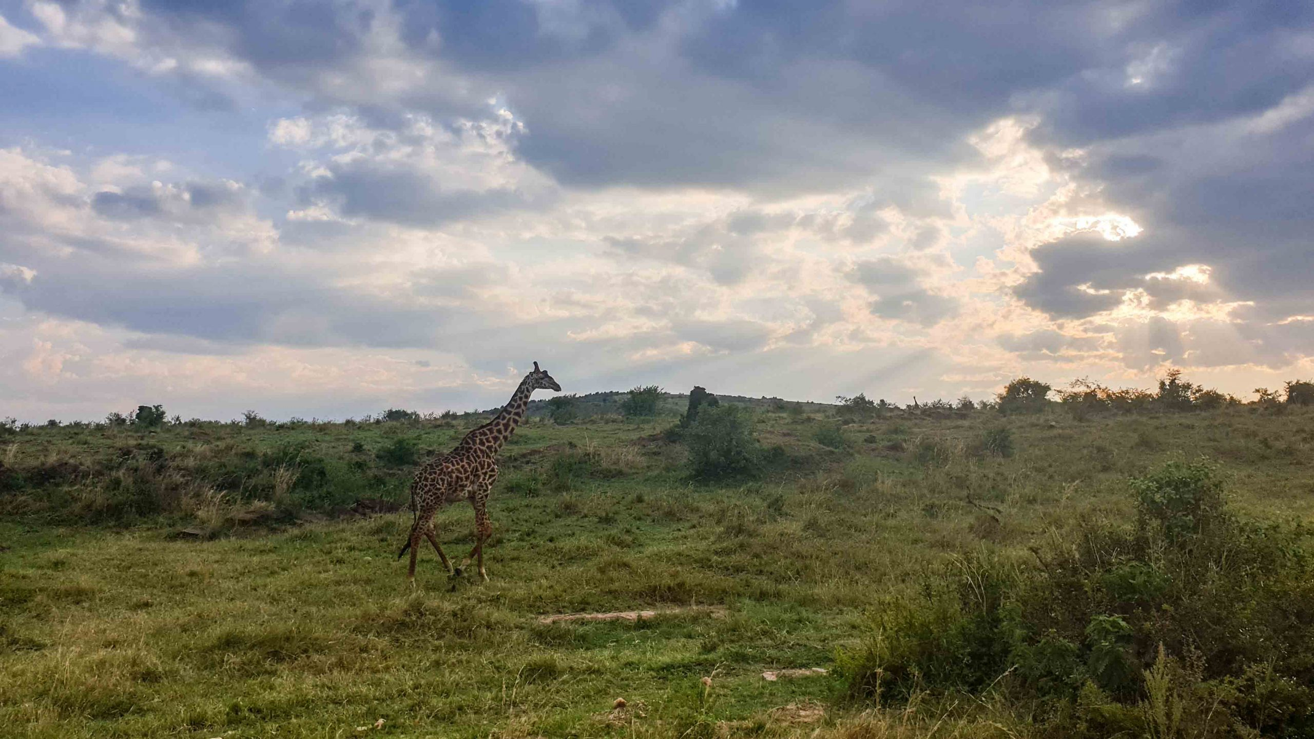 Jirafa en Masai Mara, Kenia