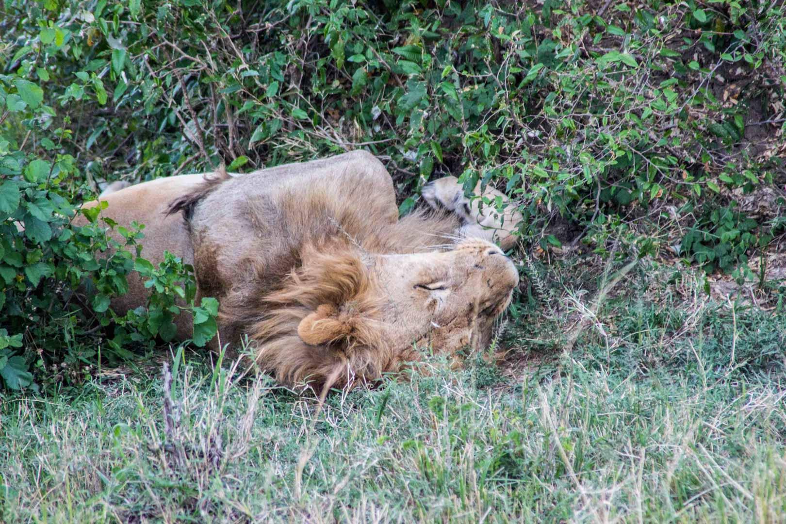 León durmiendo en Masai Mara, Kenia