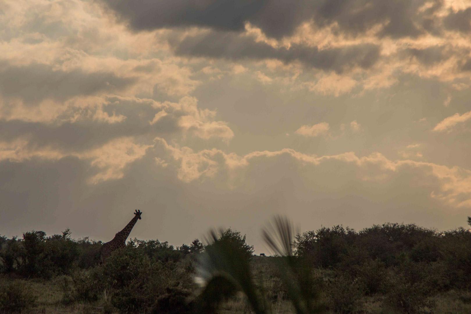 Jirafa y atardecer en Masai Mara, Kenia