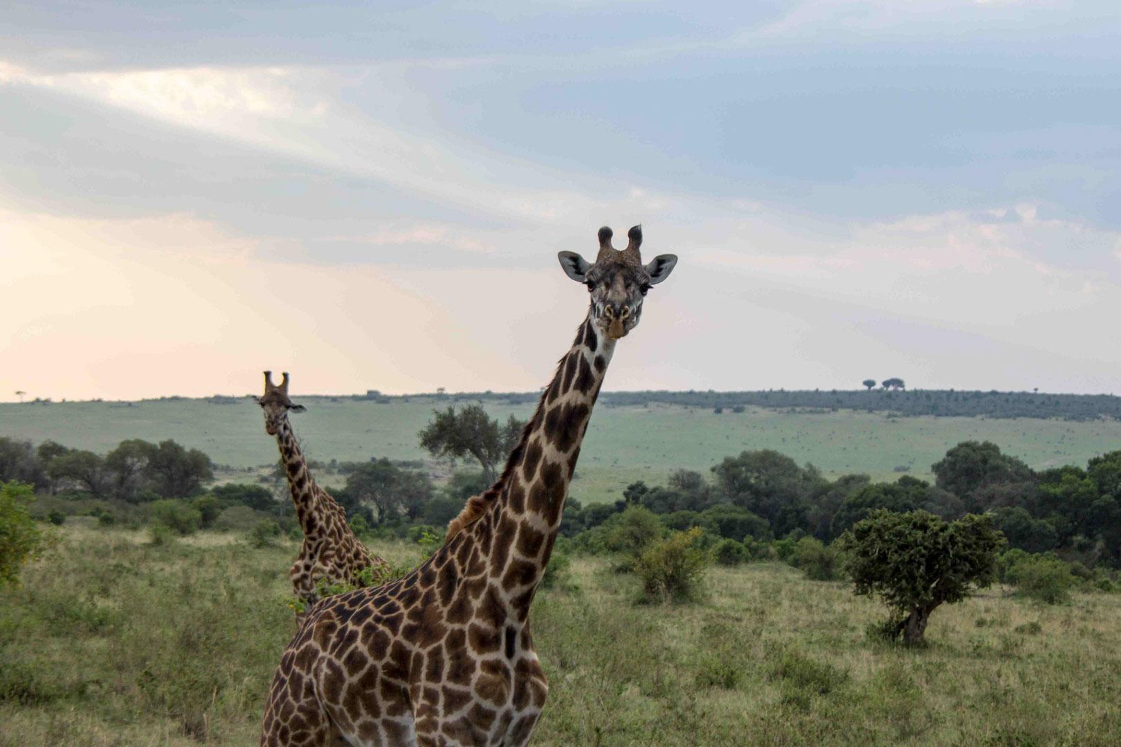 Jirafas en Masai Mara, Kenia