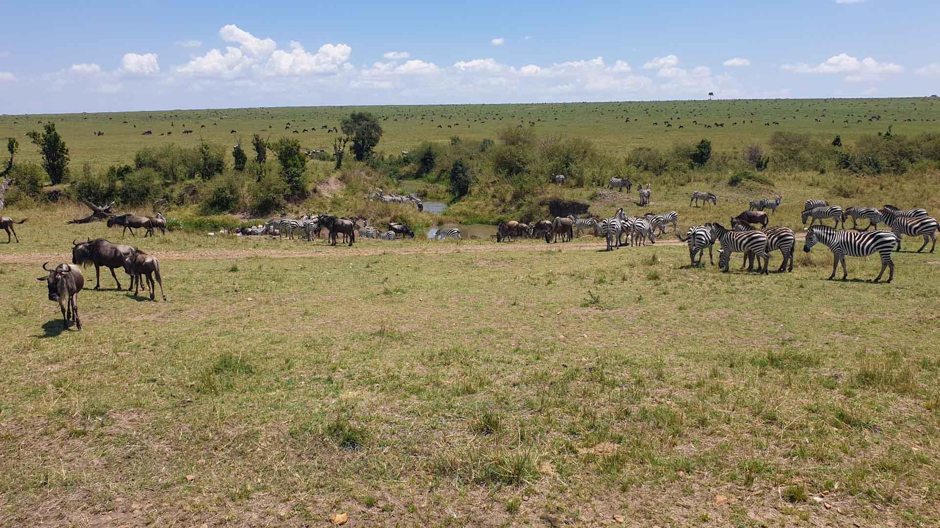 Cebras y ñus en Masai Mara, Kenia