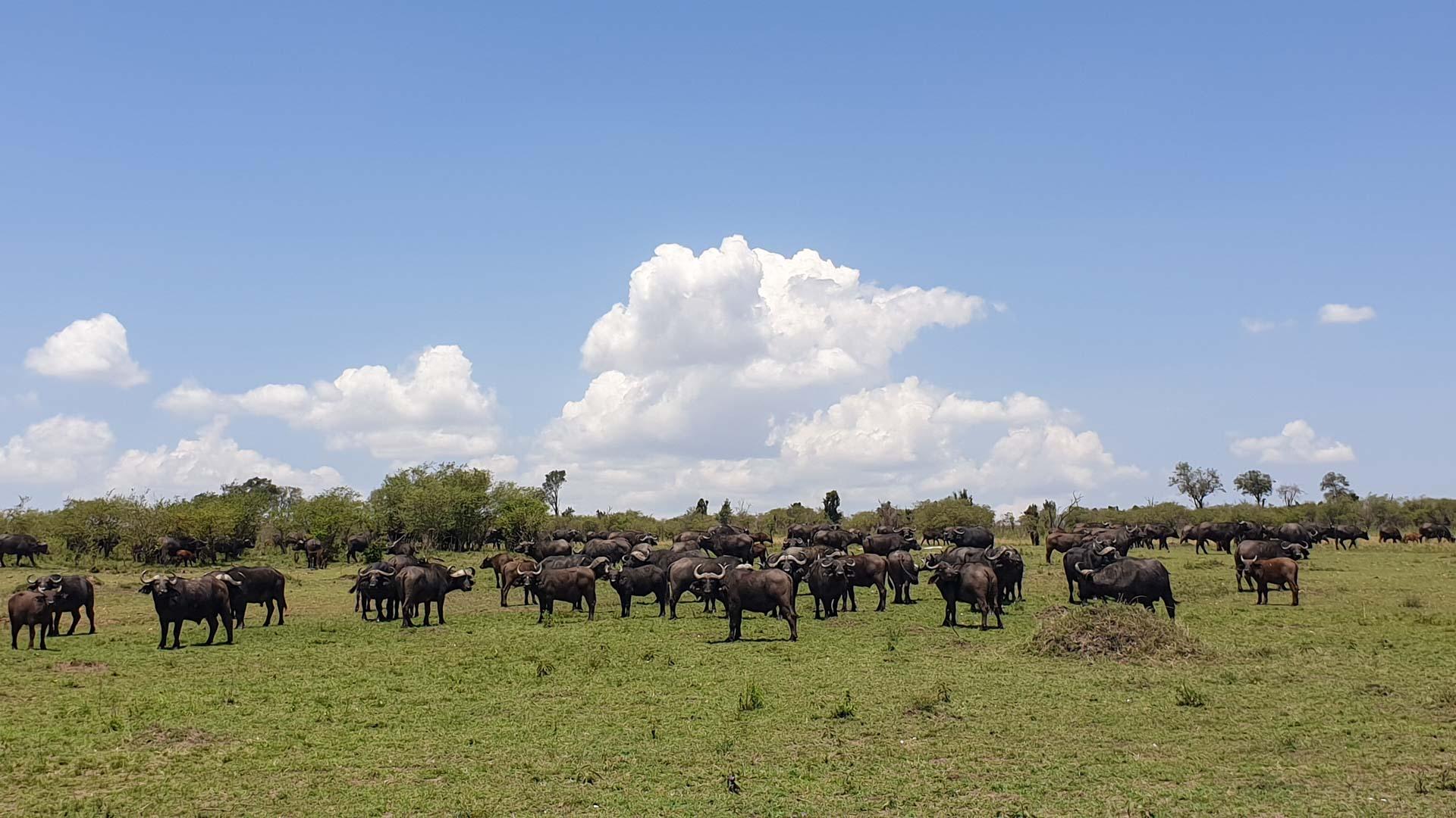 Búfalos en Masai Mara, Kenia