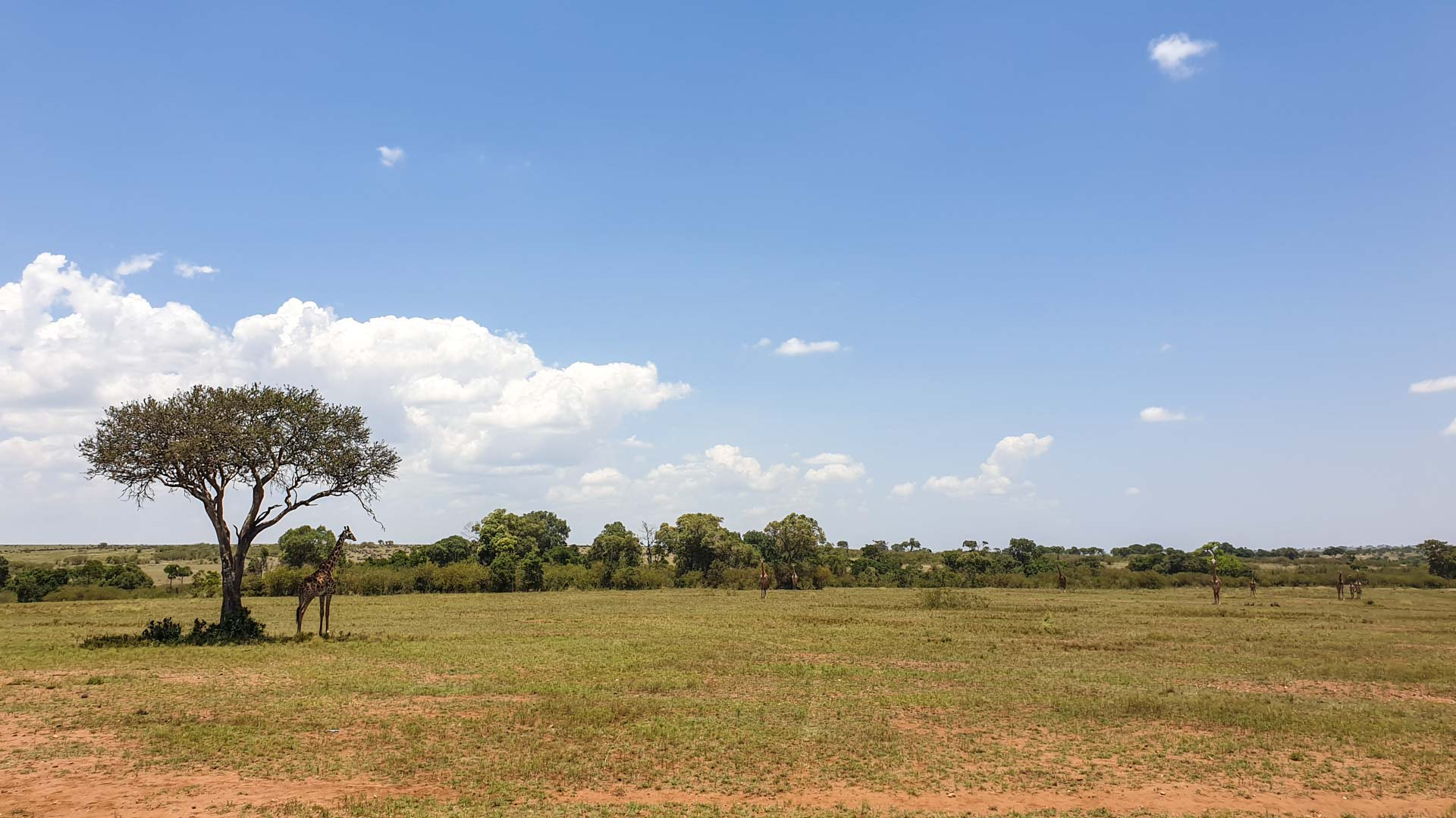 Jirafas en el Masai Mara, Kenia