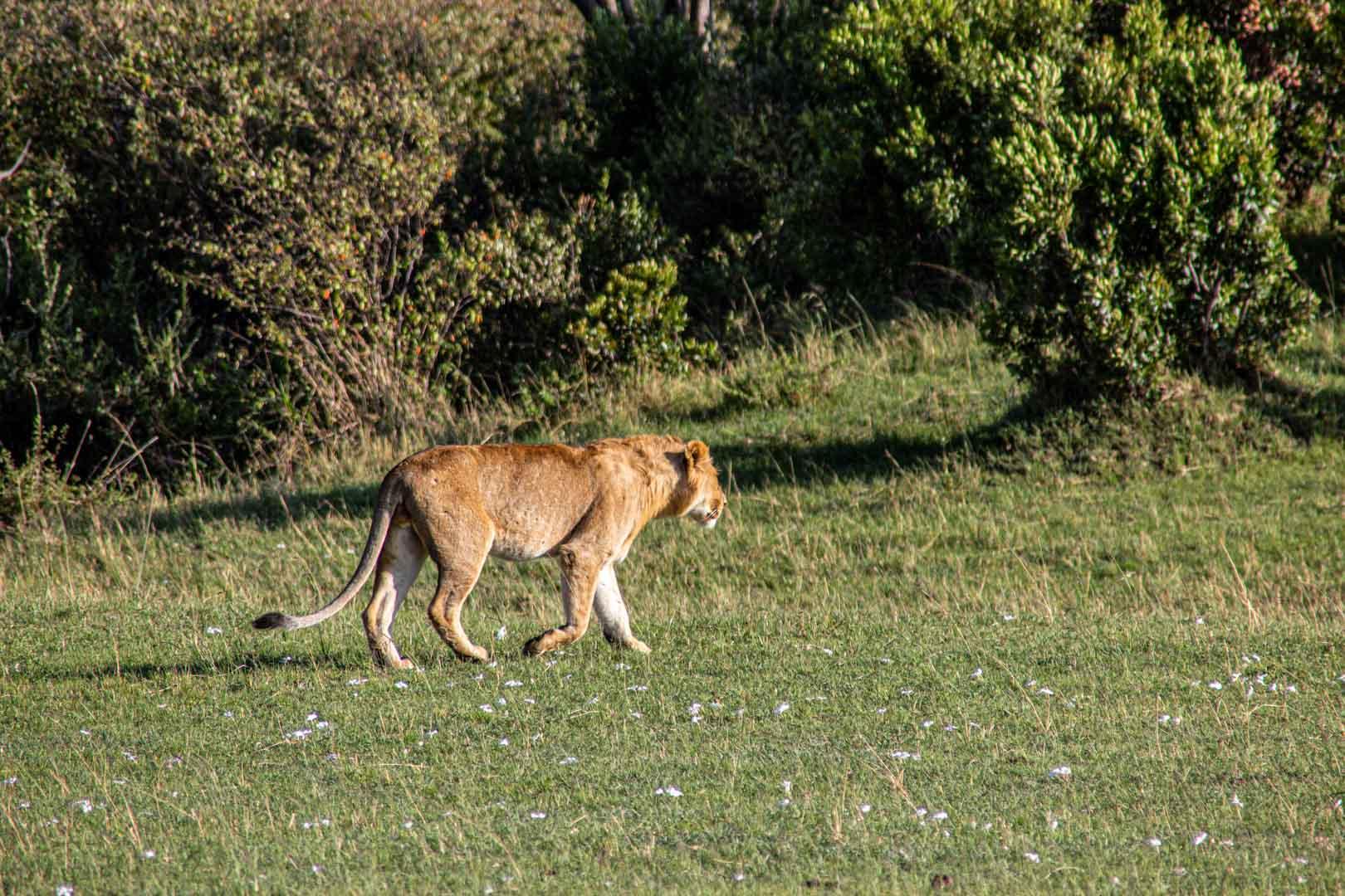 León joven, Masai Mara, Kenia