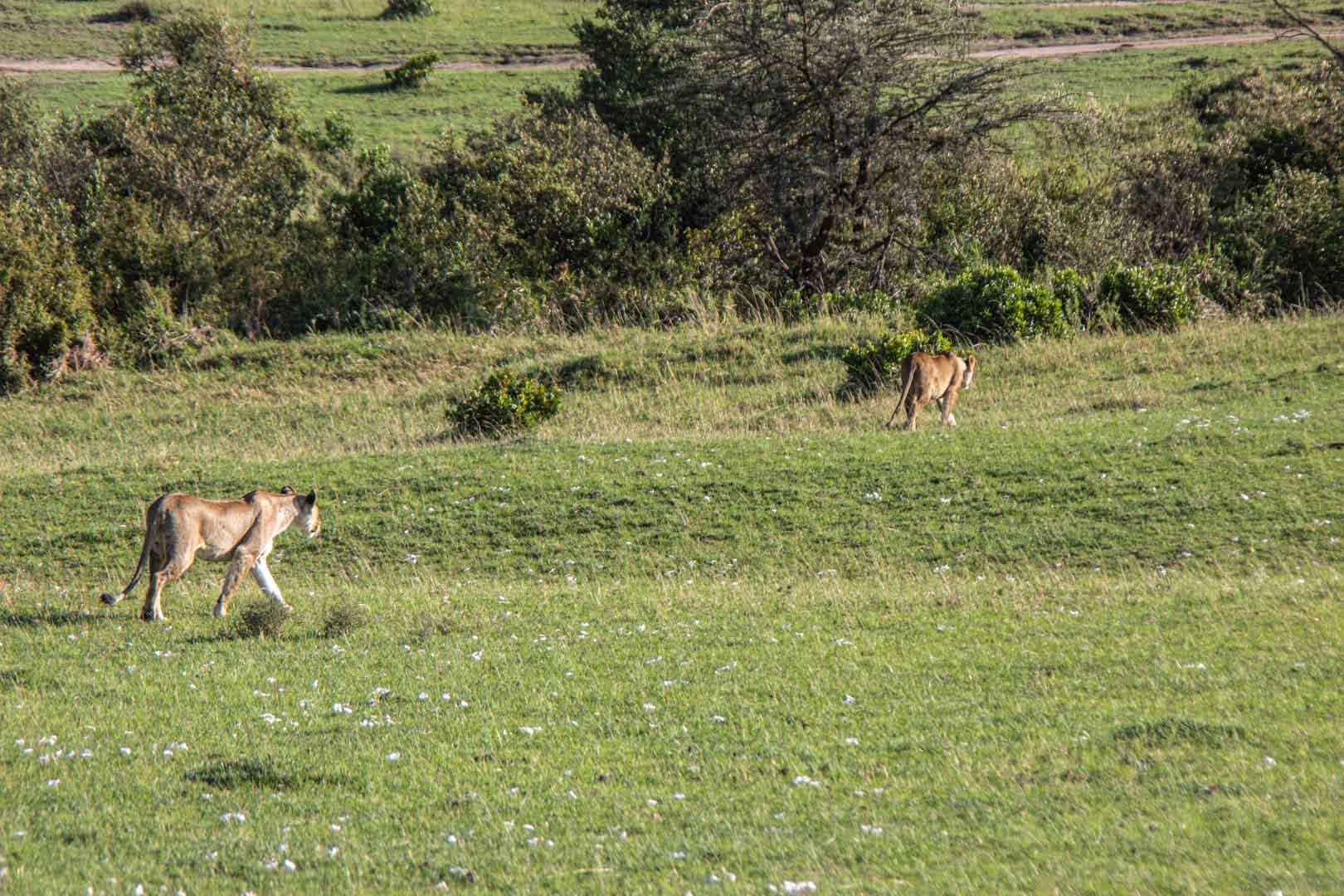 Leonas de caza, Masai Mara, Kenia