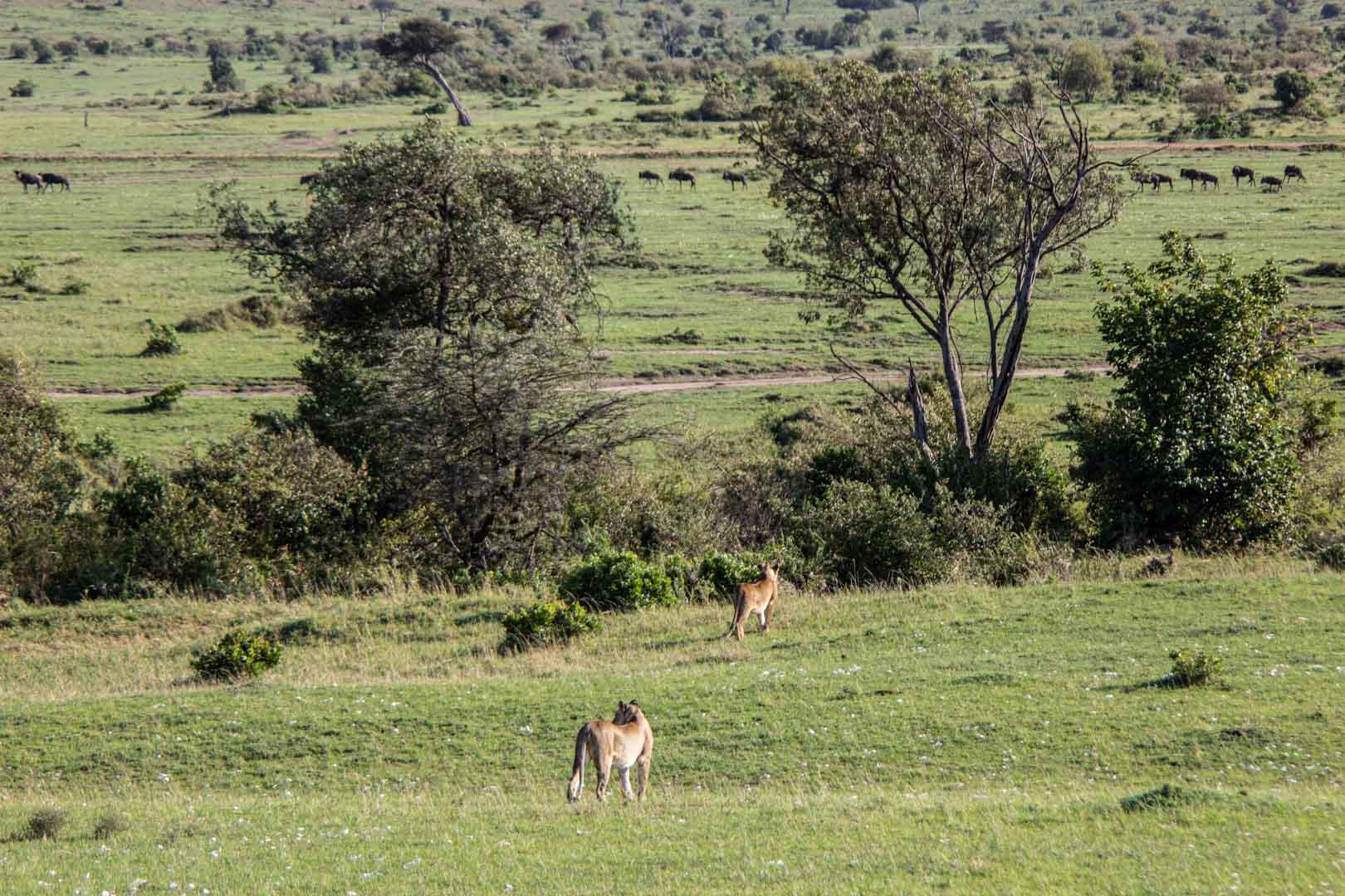 Leonas acechando a una manada de ñus, Masai Mara, Kenia