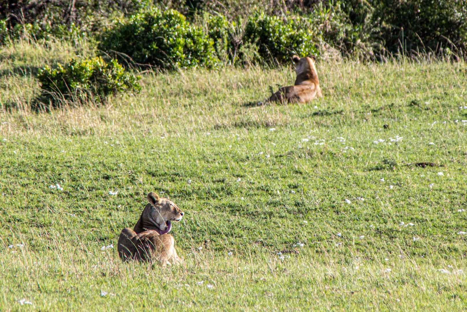 Leonas esperando para cazar, Masai Mara, Kenia