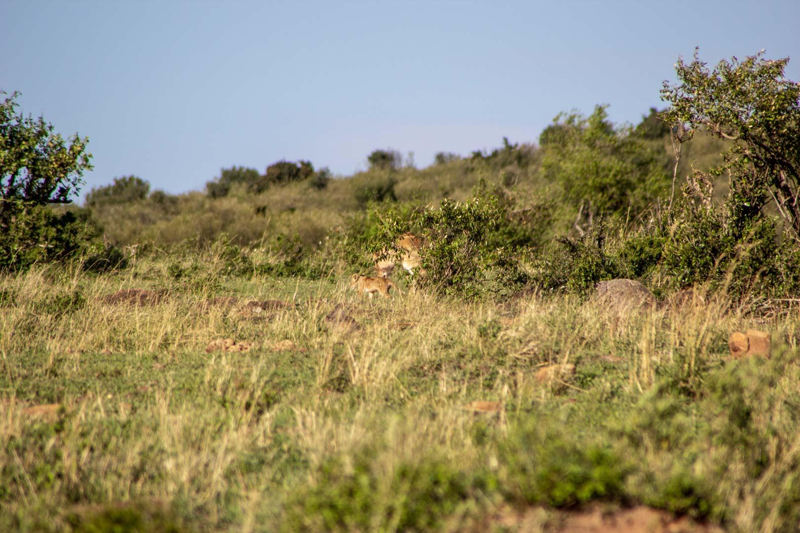 Leona con su león bebé, Masai Mara, Kenia