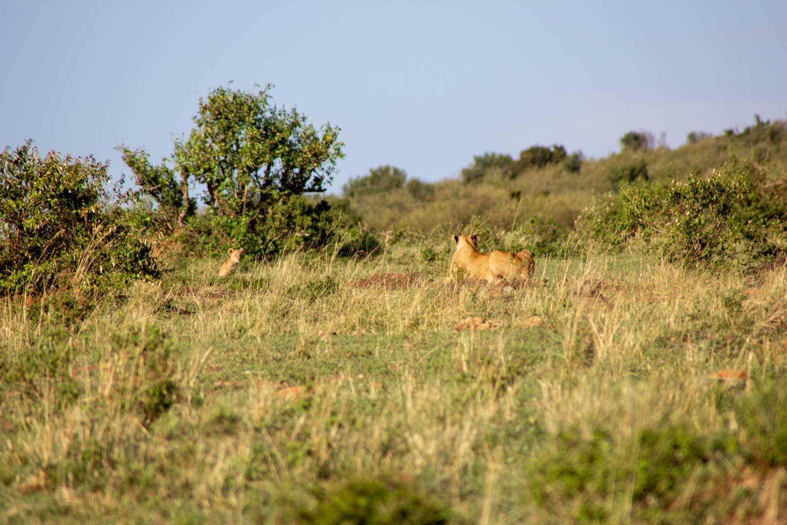 Leona esperando a su bebé, Masai Mara, Kenia