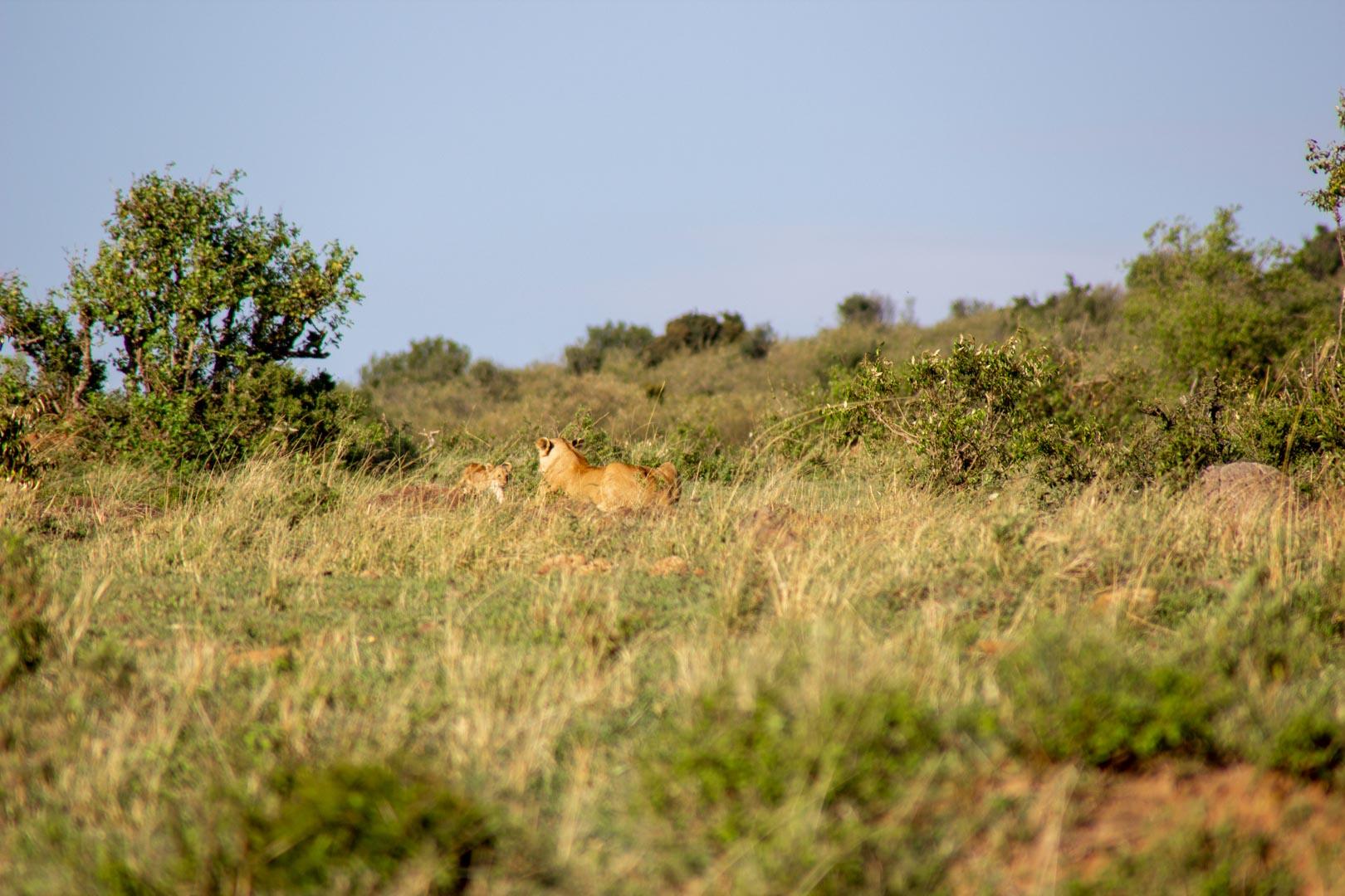 El leoncito decide obedecer a su madre, Masai Mara, Kenia