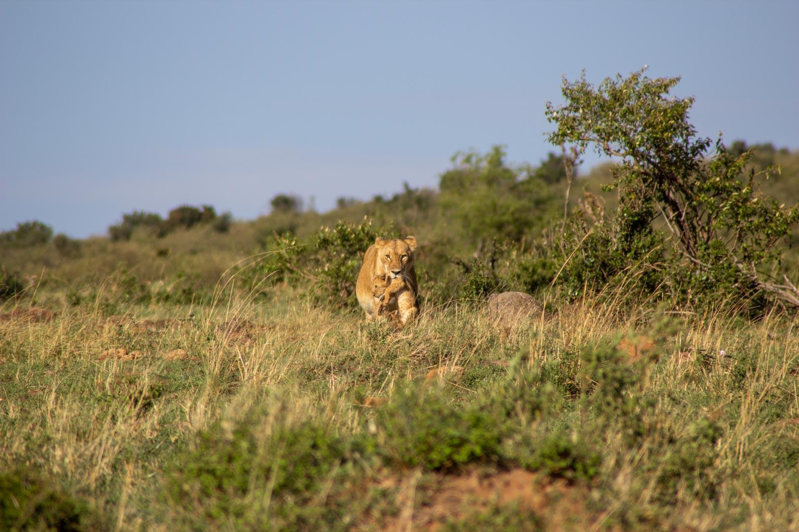 Leona transportando a su bebé, Masai Mara, Kenia