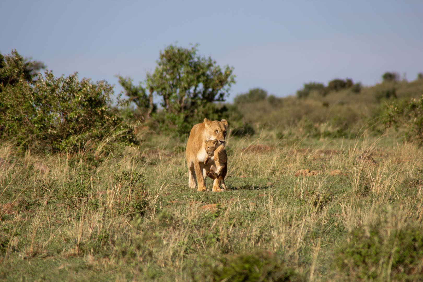 Sin esperarlo, se dirigen hacia nosotros, Masai Mara, Kenia