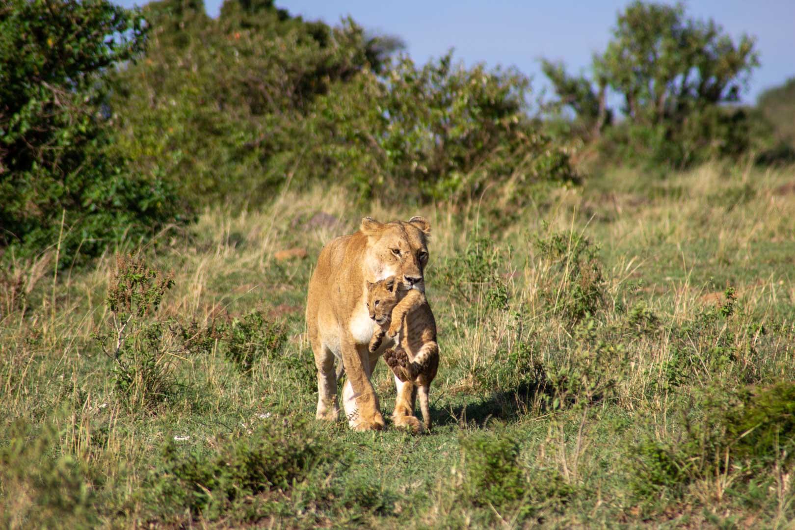 Sin esperarlo, la leona y su bebé se dirigen hacia nosotros, Masai Mara, Kenia