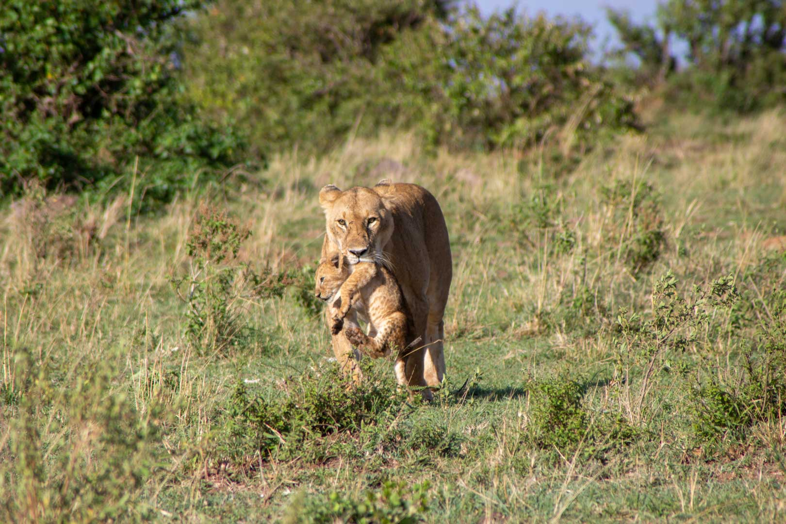 La leona y su bebé se dirigen hacia nosotros, Masai Mara, Kenia