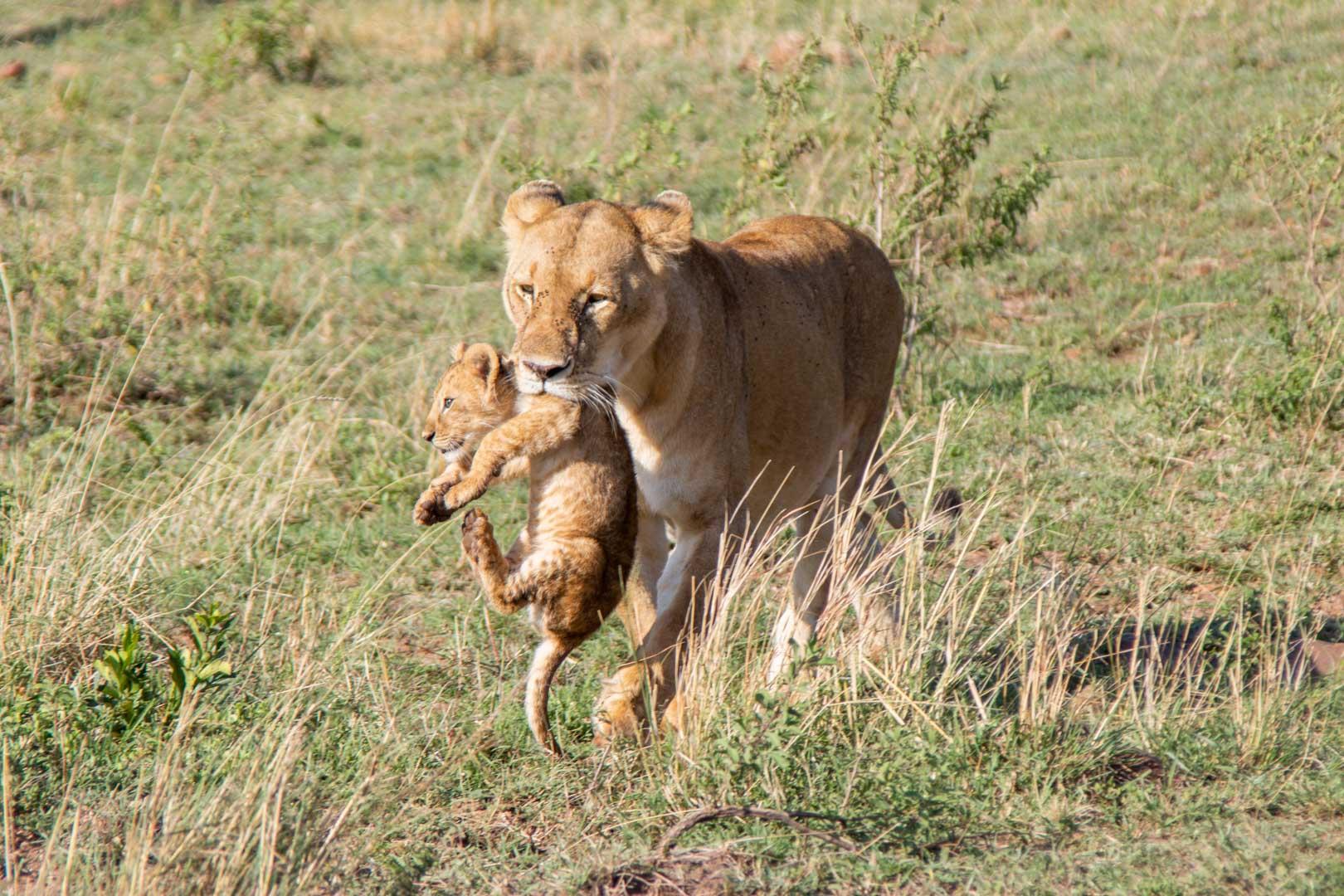 Leona llevando a su bebé, Masai Mara, Kenia
