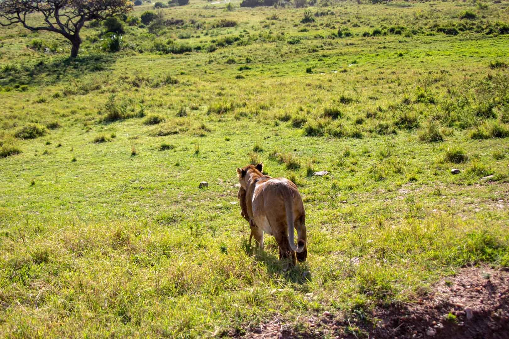 Leona alejándose con su bebé, Masai Mara, Kenia