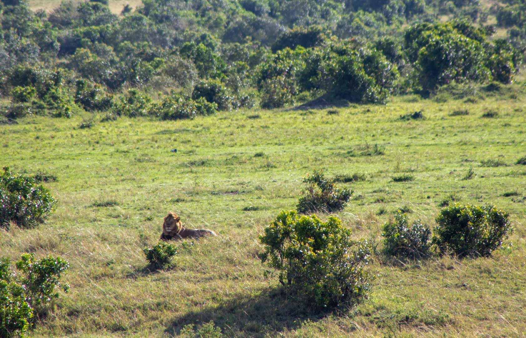 León descansando en Masai Mara, Kenia