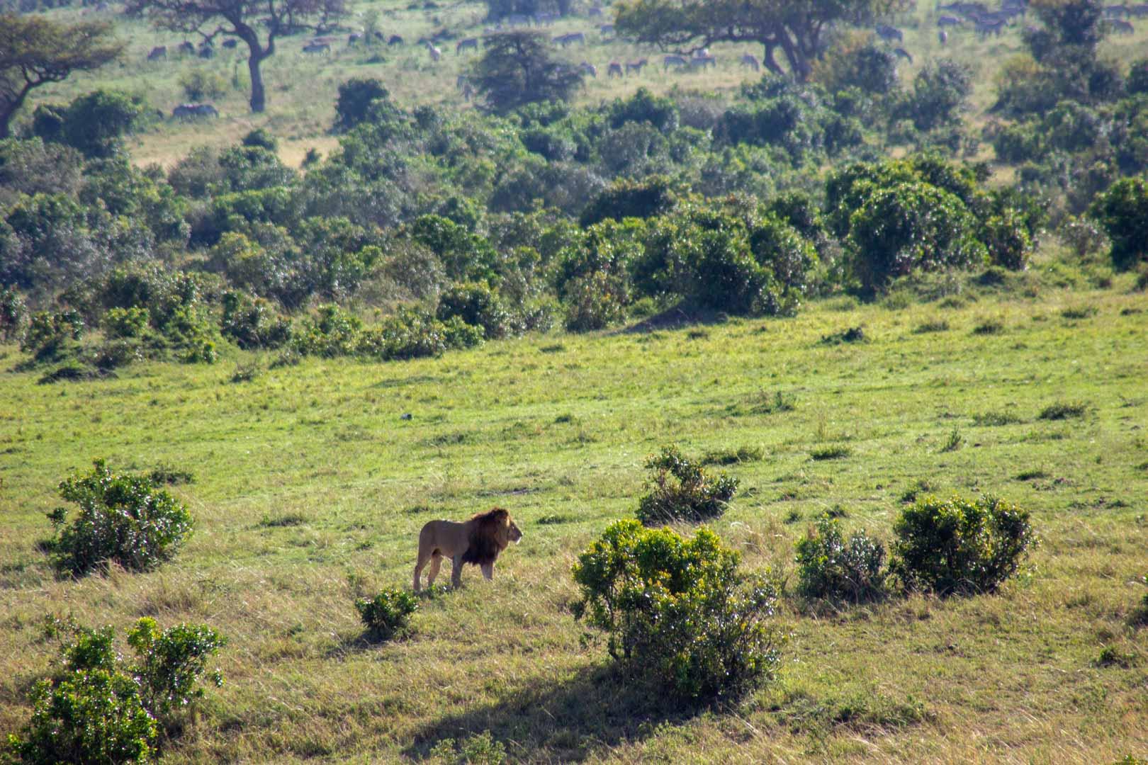 León en Masai Mara, Kenia