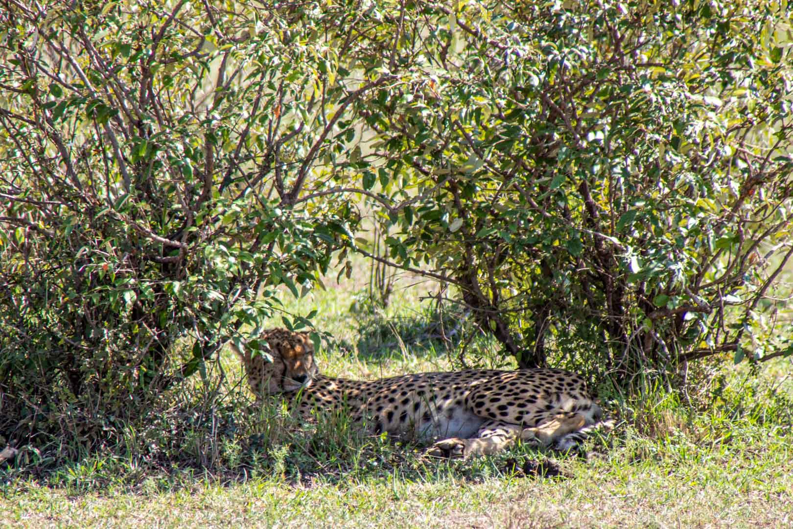 Guepardos en Masai Mara, Kenia