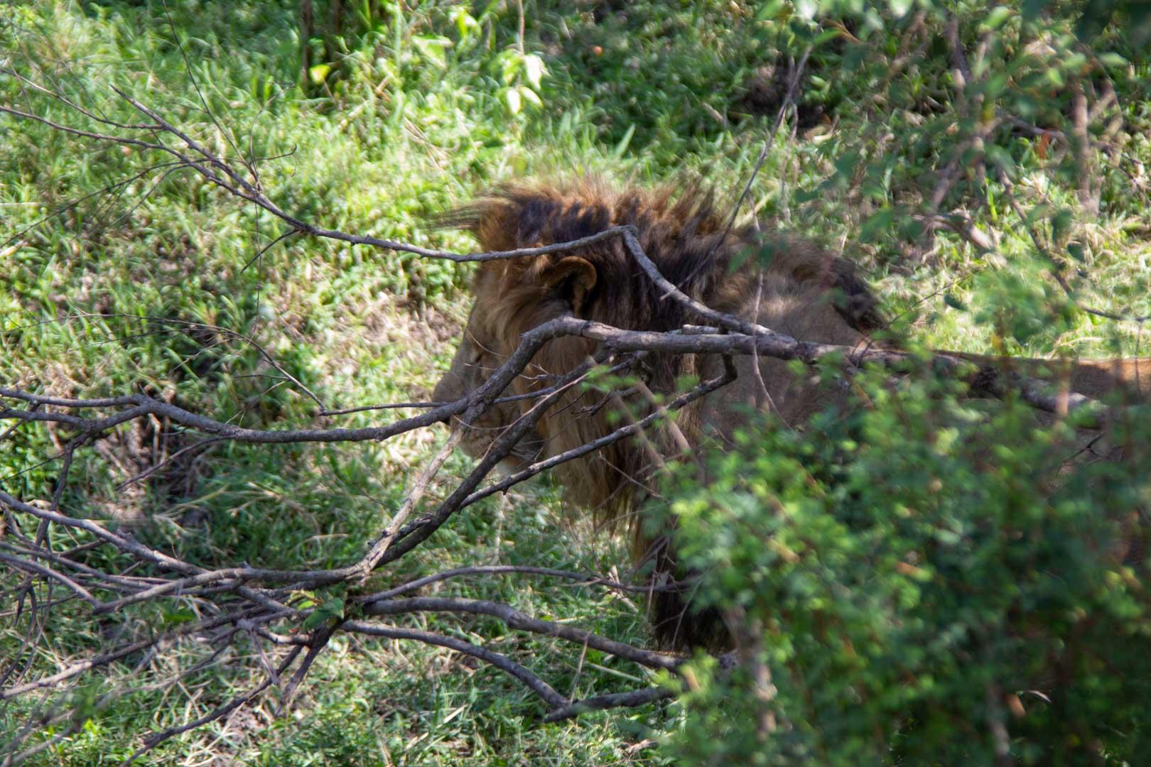 León entre los arbustos, Masai Mara, Kenia