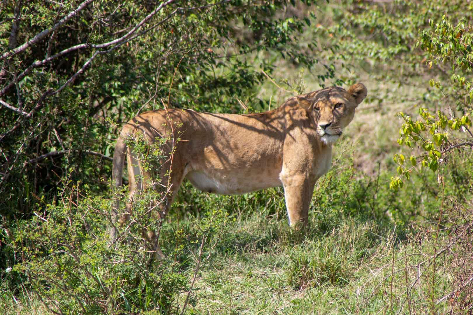 Leona en el Masai Mara, Kenia