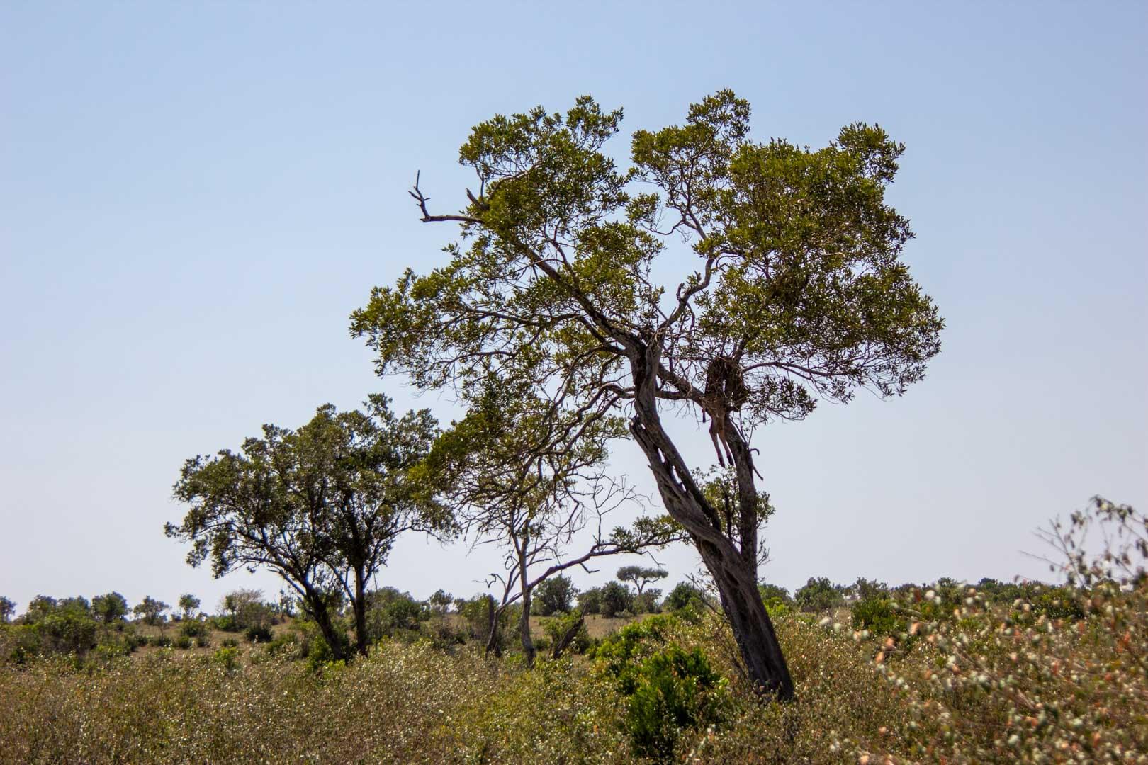 Gacela muerta subida a un árbol presa de un leopardo, Masai Mara, Kenia