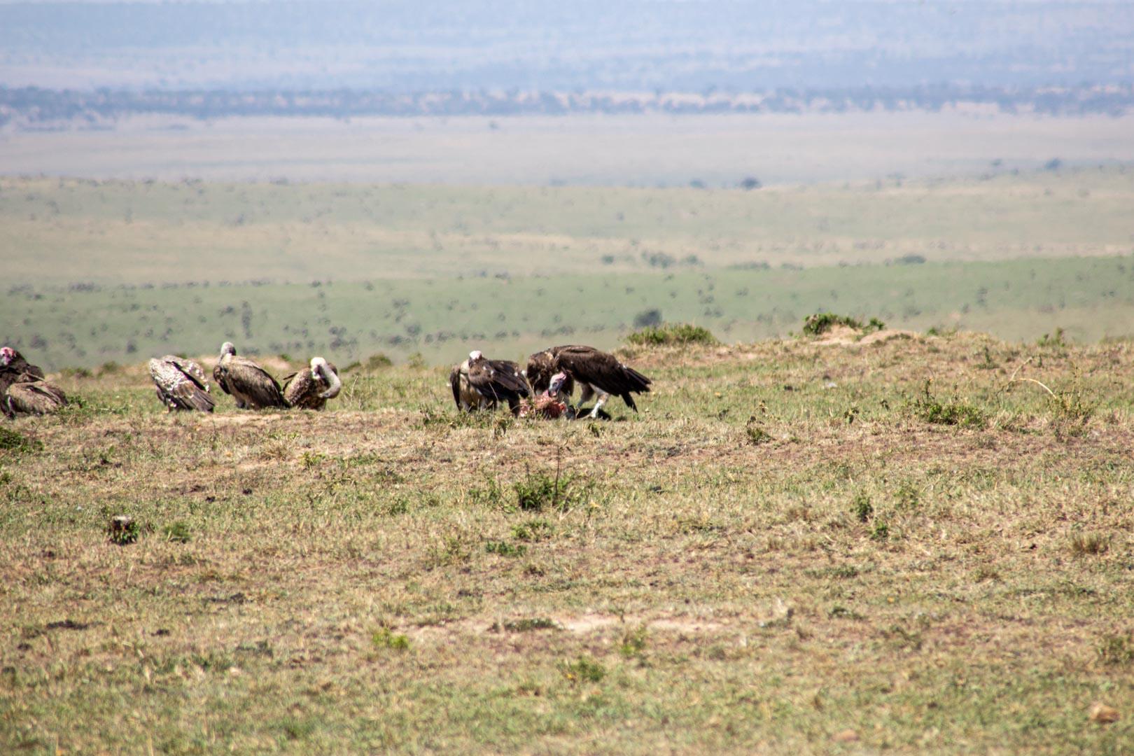 Buitres comiendo carroña, Masai Mara, Kenia