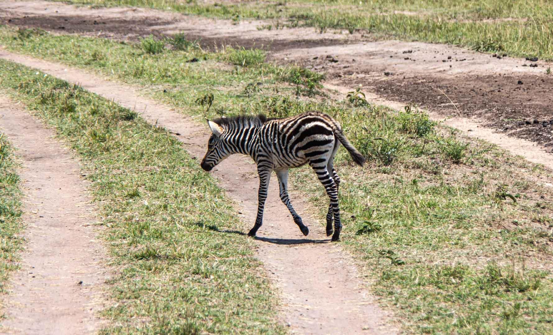 Cebra bebé en Masai Mara, Kenia