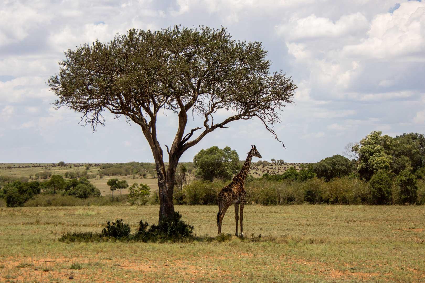 Jirafa a la sombra de un árbol, Masai Mara, Kenia