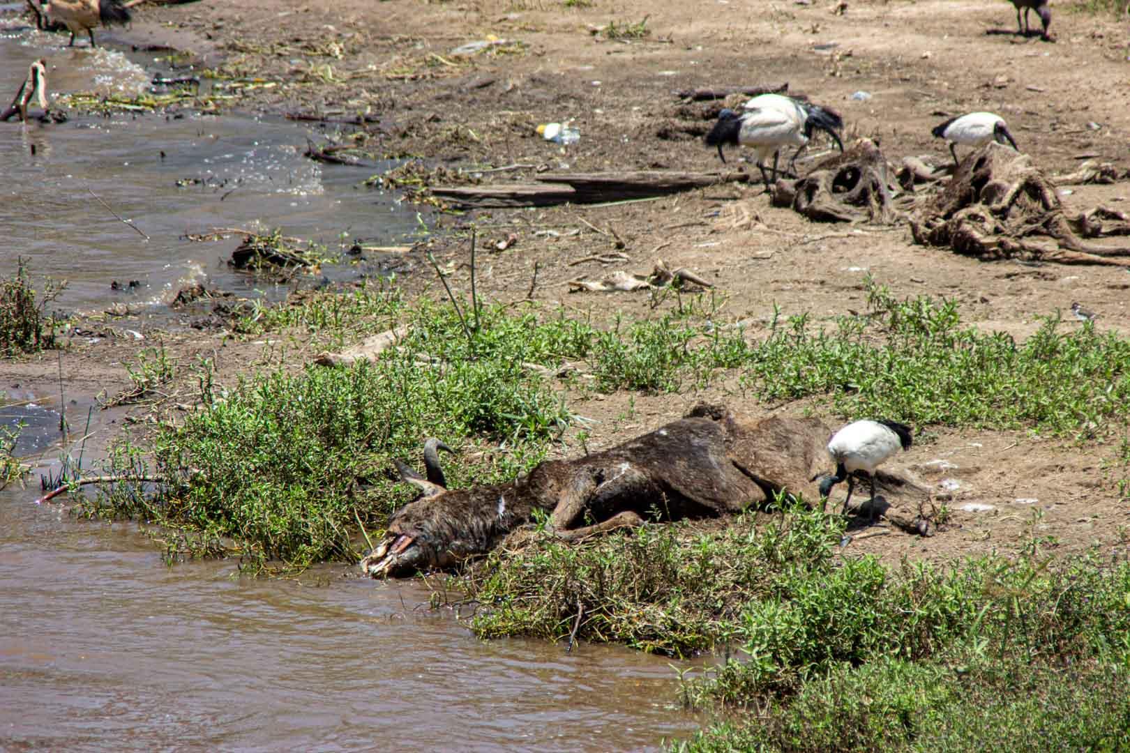 Animales muertos tras la gran migración en el río Mara, Masai Mara, Kenia