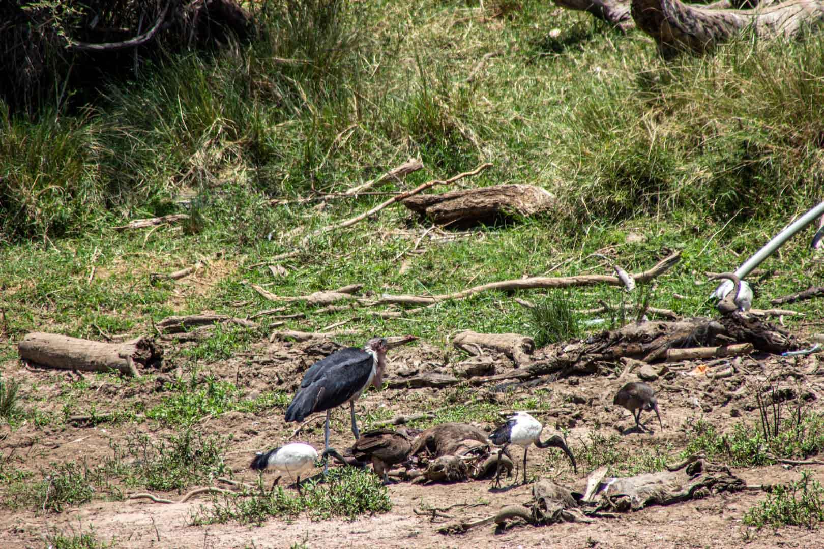 Aves carroñeras y animales muertos a orillas del río Mara, Masai Mara, Kenia