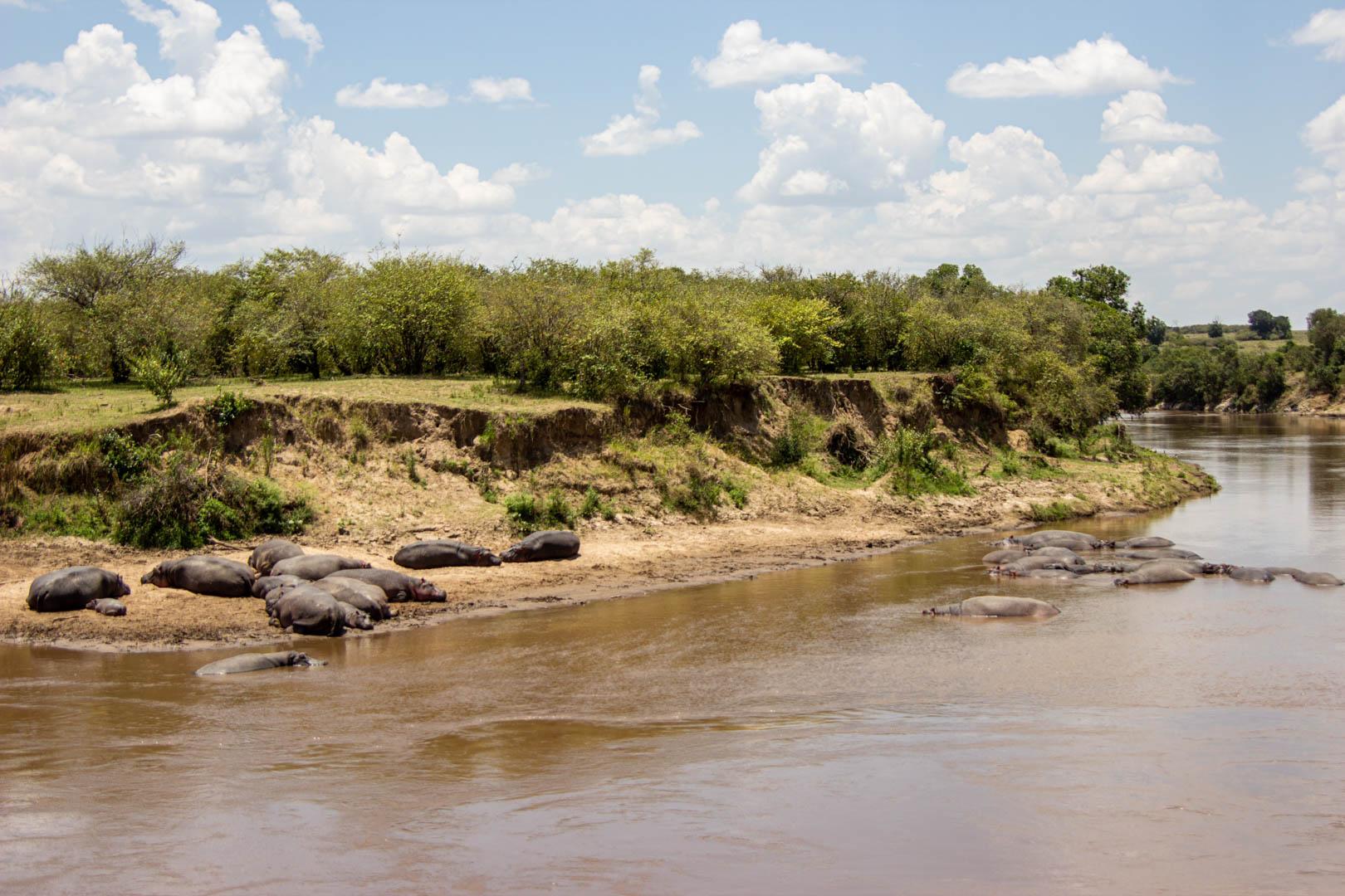 Hipopótamos en el río Mara, Masai Mara, Kenia