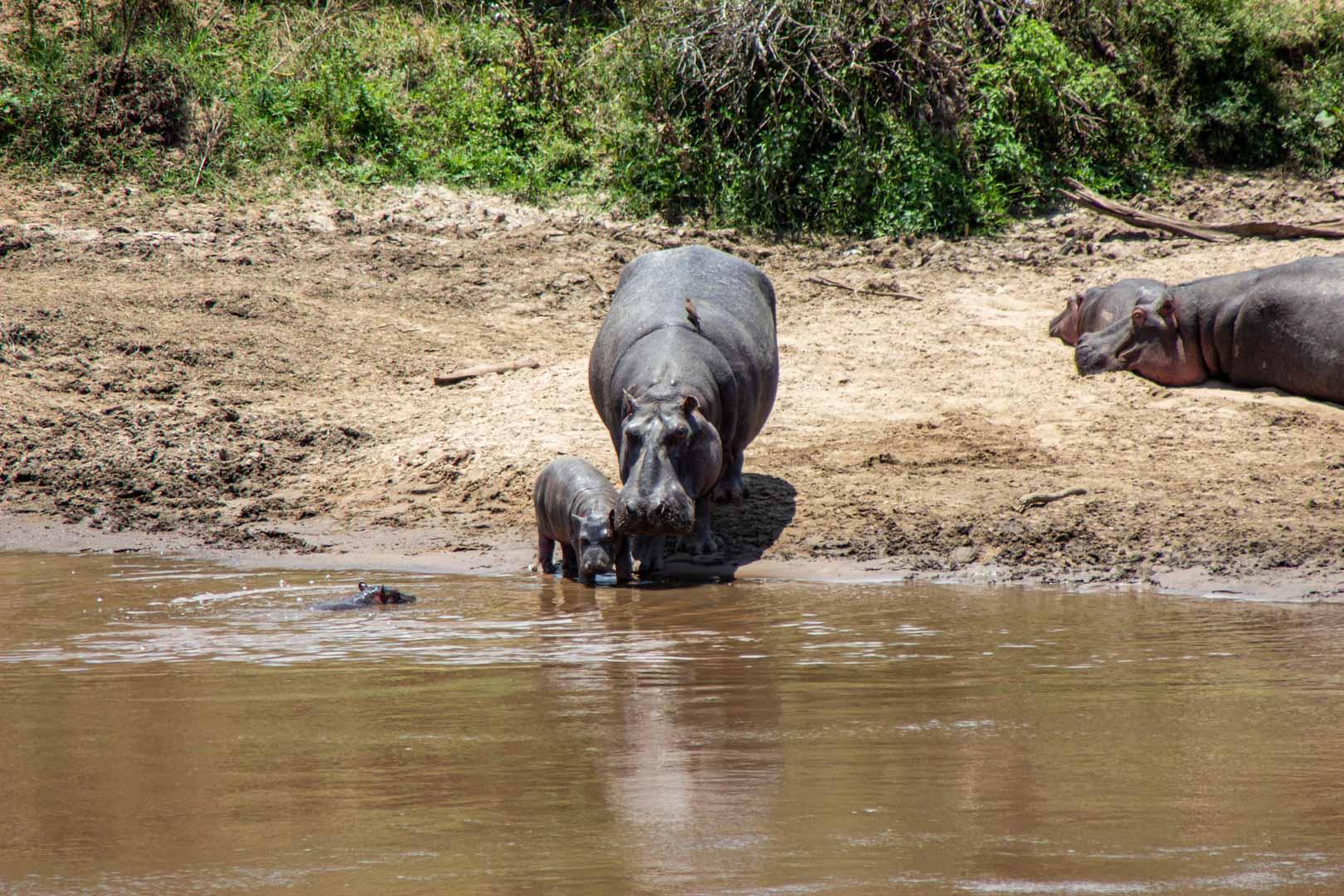 Una mamá hipopótamo con sus dos bebés en el río Mara, Masai Mara, Kenia