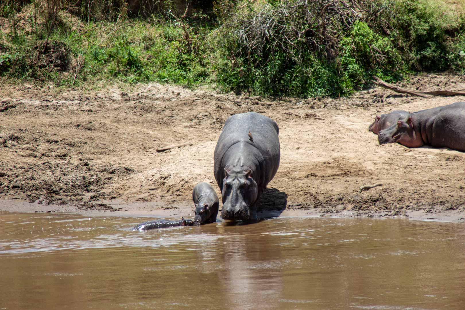 Dos bebés con su mamá hipopótamo disfrutando de un baño en el río Mara, Masai Mara, Kenia