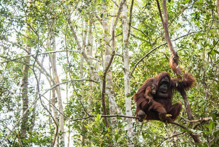 Orangutanes en la selva de Borneo